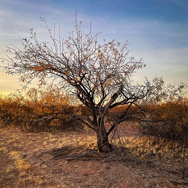 Desert Ironwood tree in theSonoran Desert.